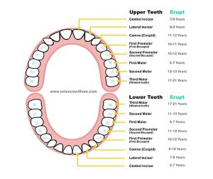 teethC1